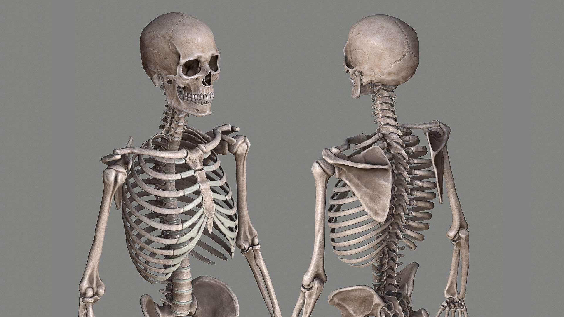 Human Skeleton Caucasian Male - Model 3D For Free